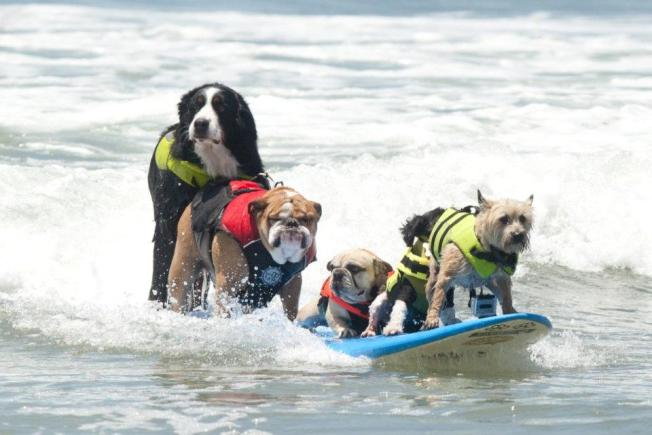 Loews Surf Dog Competition in San Diego. Things To Do This Weekend in San Diego from The Wanderer Guides Blog! #sandiego #cute #dogs